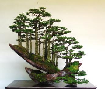 havana-live-bonsai