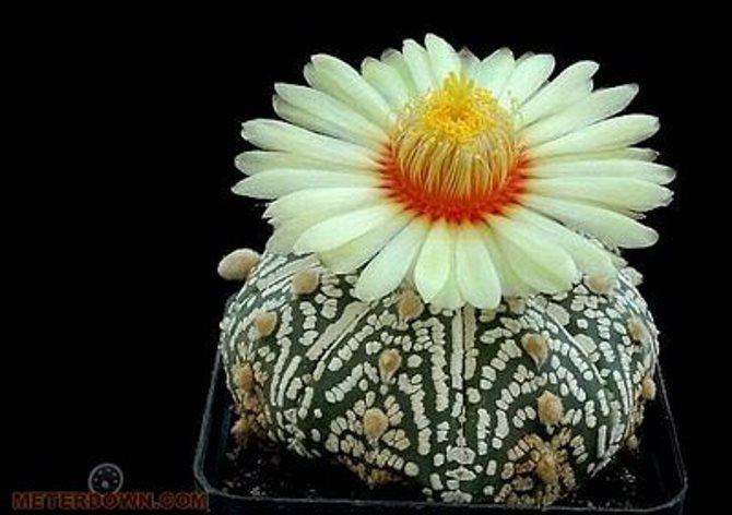 havana-live-Cactus4