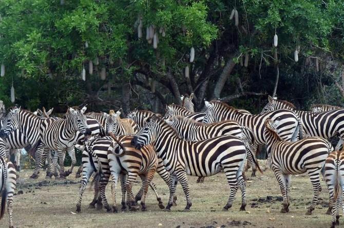 havana-live-magillCuba Zoo Zebras