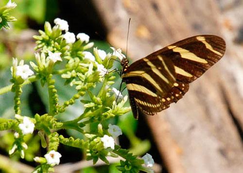 mariposa-cubana