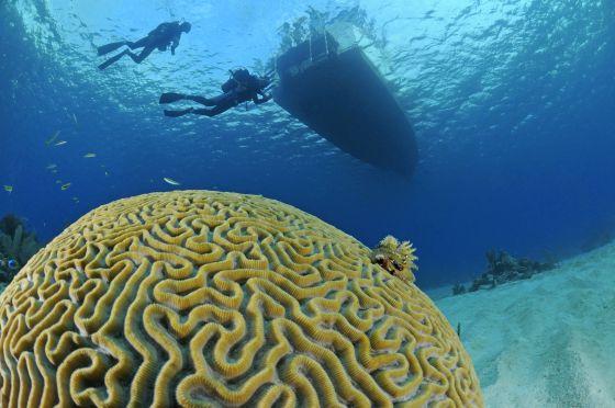 Un coral cerebro ('Mussiidae') en las aguas de María la Gorda, en Cuba. / WOLFGANG POELZER