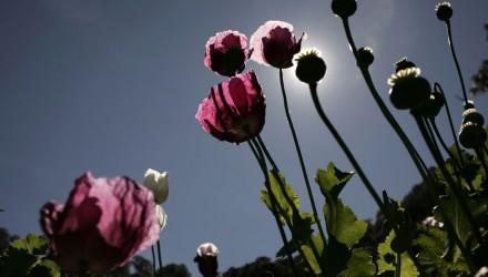 poppies-440x250