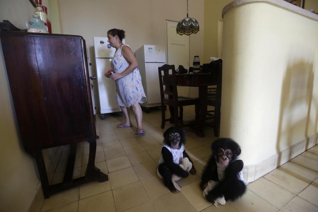 Un bióloga que cría chimpancés en un apartamento de La Habana