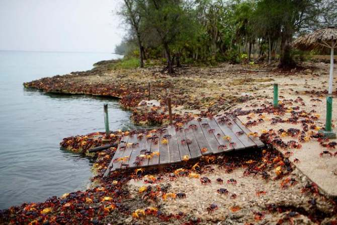 Bahía de Cochinos, viaje de cangrejos,Cuba