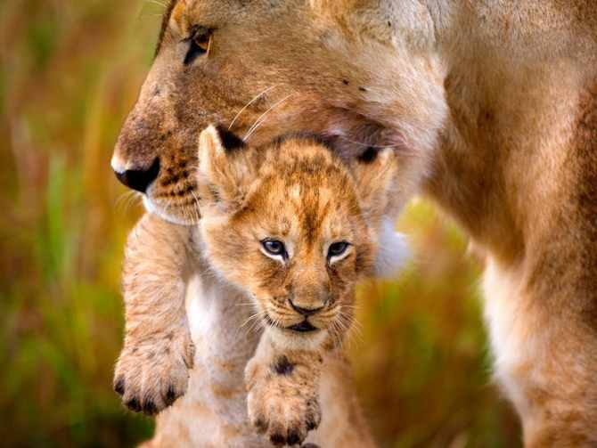 Zoológico de La Habana,Parque Zoológico Nacional,Cuba,leones,baby boom