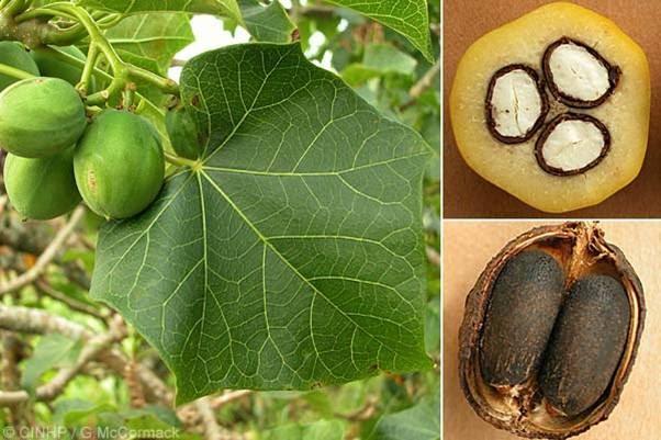 """Cuba impulsa la producción de biodiésel a partir de """"piñón de botija"""""""