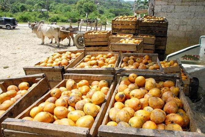 Un año de cosecha de mango perdido