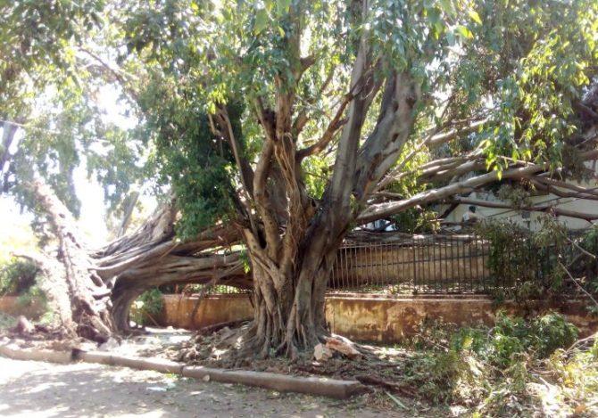 El Vedado, un cementerio de árboles