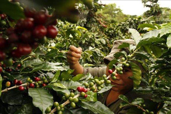 Promueven en Cuba cosecha de café orgánico