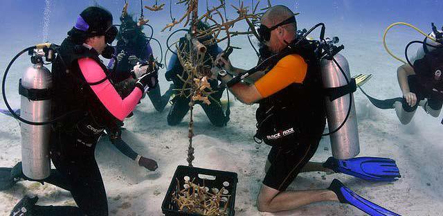Cuba siembra coral en sus fondos marinos para repoblar sus arrecifes
