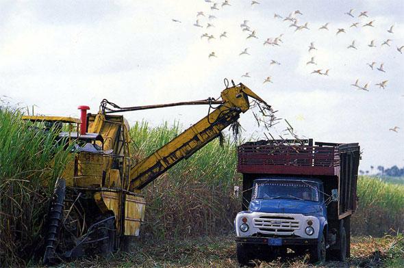 Cuba comienza cosecha de azúcar castigada por problemas climático