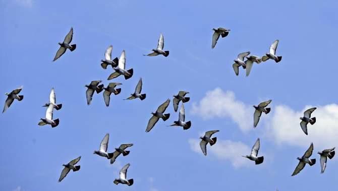 ¿Por qué Cuba usa palomas mensajeras durante las elecciones?