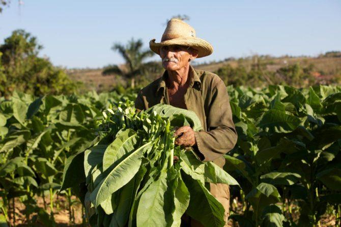 Cuba prevé producir 32.000 toneladas de tabaco, el 65 % en Pinar del Río
