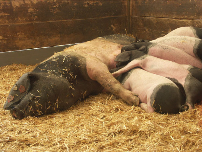 En Cuba esperan producción récord de carne de cerdo