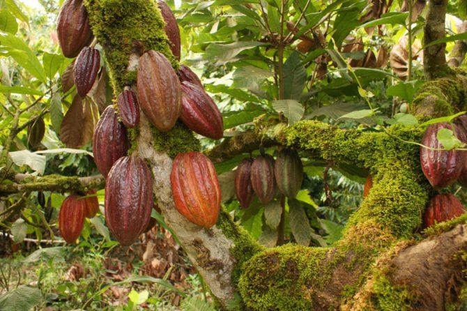 Cuba cosechó 200 toneladas de cacao en 2017, la cifra más baja en 70 años
