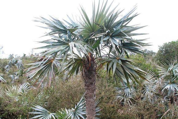Confirman a la palma azul como nueva especie a 2 décadas de hallada