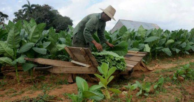 Cuba protege el tabaco recolectado ante la proximidad de la tormenta Alberto