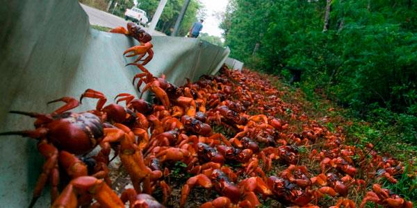 Como cada año comienza la peligrosa migración del cangrejo rojo cubano