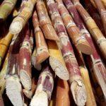 havana-live-Cut_sugarcane