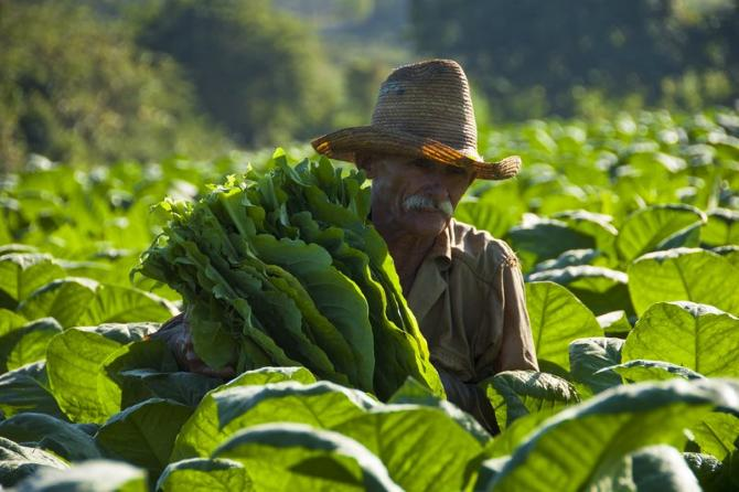 Cuba expect best tobacco harvest of the last decade