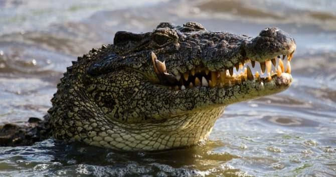 10 endangered Cuban crocodiles coming home