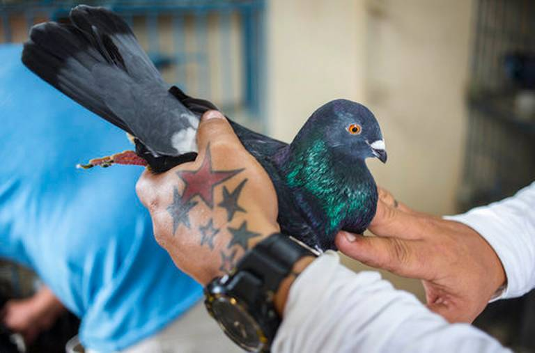 Pigeon competitions take flight over rooftops of Havana