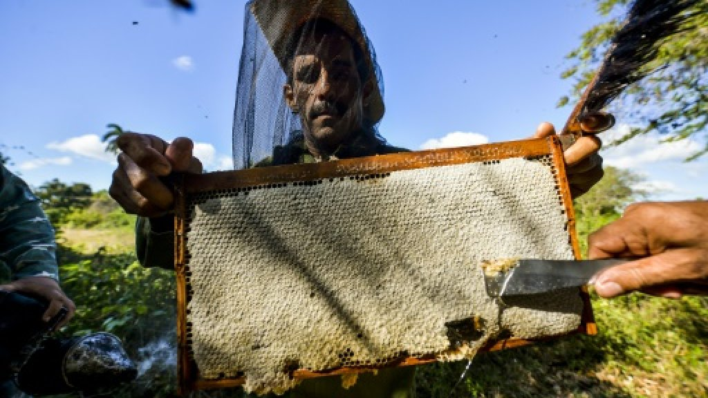 Cuba's worker bees boost thriving honey business