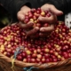 Cuba's Coffee, Cocoa and Coconut Productions on the rise