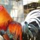 La II Feria Nacional Avícola se llevará en el recinto ferial Rancho Boyeros en La Habana