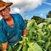 Cuba desarrolla técnica para obtener capas verdes de tabaco tras secado