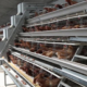First automated poultry farm starts operation in Pinar del Rio