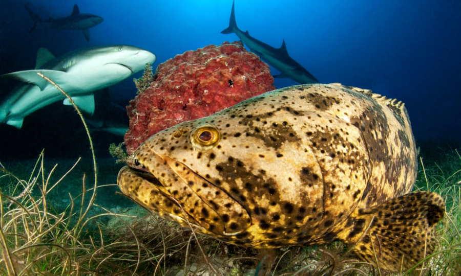 Goliath Zackenbarsch und karibische Riffhaie im Nationalpark Jardines de la Reina | Bildquelle: havana-live.com © Biosphoto/Alamy | Bilder sind in der Regel urheberrechtlich geschützt