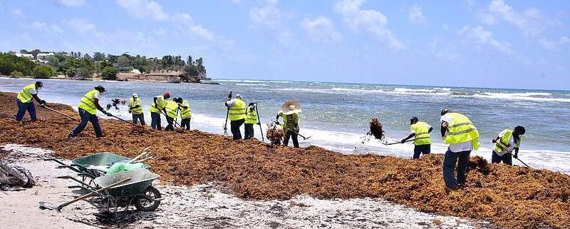 Invasion massive d'algues sargasses, une situation alarmante a Cuba