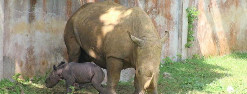 Nace rinoceronte blanco en el Zoológico de La Habana