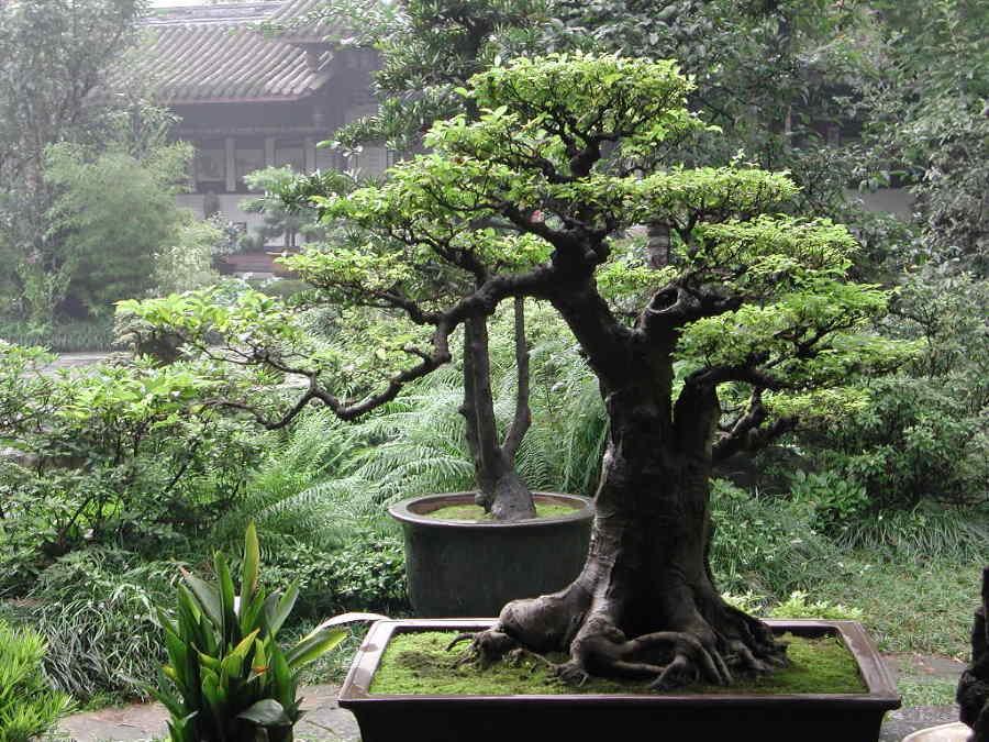 El milenario arte chino del bonsái crece en Cuba