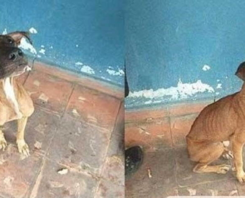 OFFER FOR ADOPTION HAVANA STREET DOG TRAINED TO FIGHT