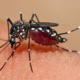 Cuba tests technique for control of Aedes aegypti mosquito