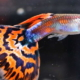 Cuba breeds guppies as way of controlling dengue transmitting mosquito
