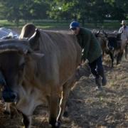 Faute d'essence, des boeufs et des chevaux pour faire bouger Cuba
