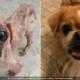 Antes y después de un perro callejero rescatado en Cuba y adoptado en Canadá