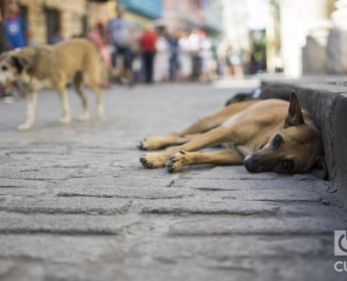 Cuba readies a demanded draft law for animal protection