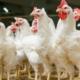 Can Cuba Produce enough Chicken?