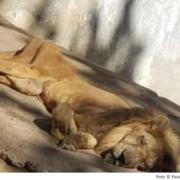 Los leones se mueren de hambre en el zoológico de Las Tunas