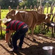 Más de 40 000 reses murieron en Camagüey en 2020, la mayoría por desnutrición