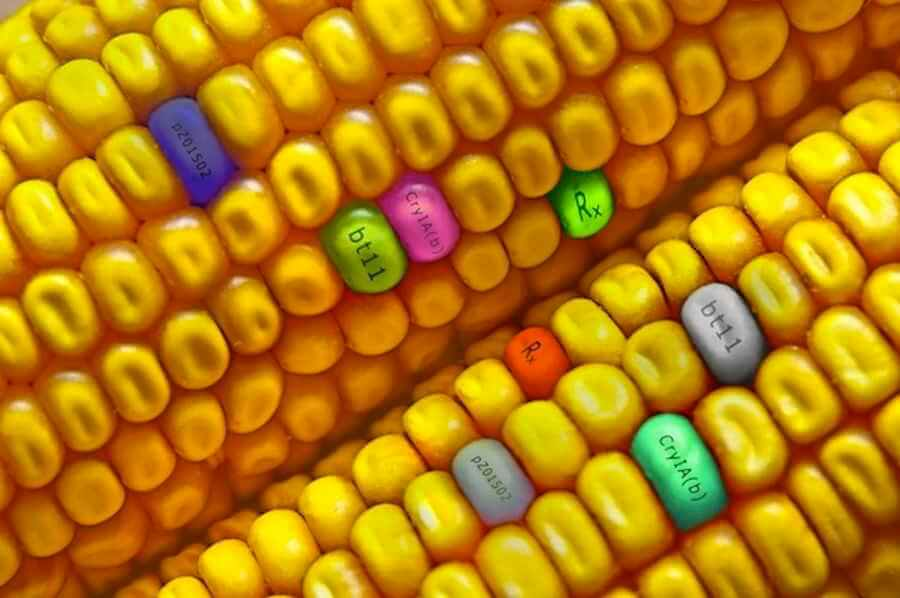 Cuba Bets on GM Corn to Increase Production