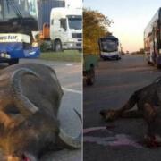 Ómnibus de Transtur choca contra un búfalo en la Autopista Nacional