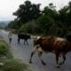 Cuba assouplit l'interdiction d'abattage de bovins, de vente de bœuf et de produits laitiers