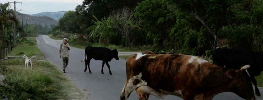 Cuba loosens ban on cattle slaughter, sales of beef, dairy