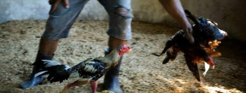 New animal-welfare law in Cuba allows cockfights, religious sacrifice