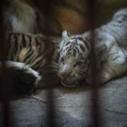 Rare white tiger, three other Bengal cubs born at Havana zoo